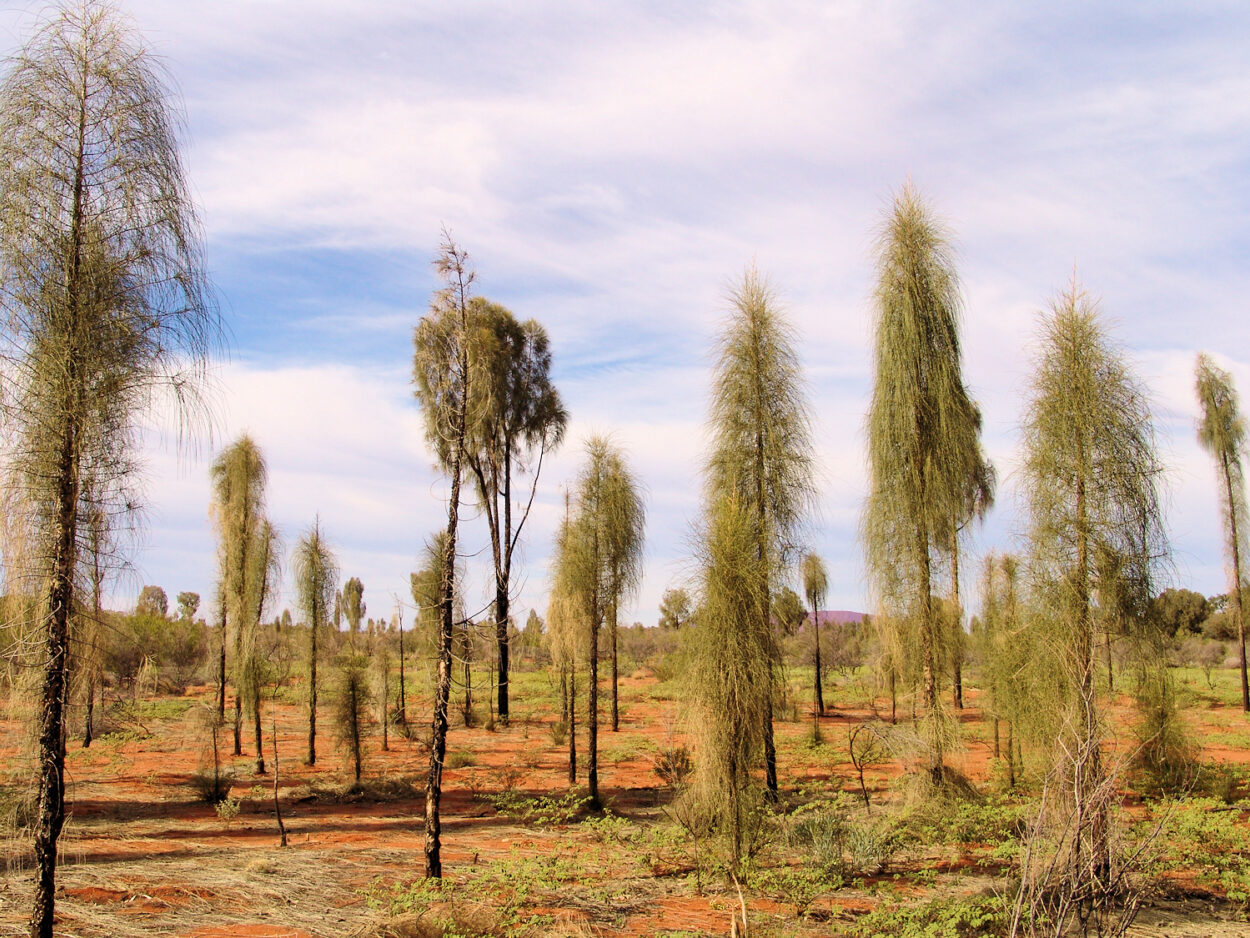 Juvenile stage of the Desert Oaks (Allocasuarina decaisneana)