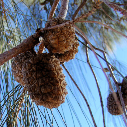 Desert Oak cones and seed pods (Allocasuarina decaisneana)