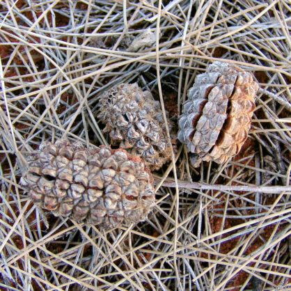 Desert Oak cones and seed pods on a bed of dead pine-like leaves (Allocasuarina decaisneana)