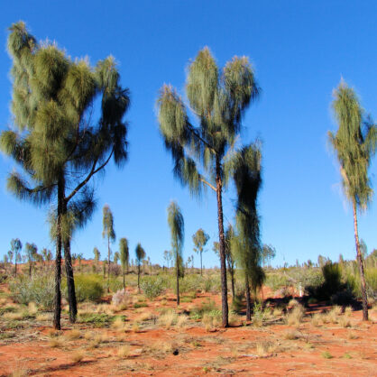 Intermediate change from juvenile to mature desert oaks (Allocasuarina decaisneana)