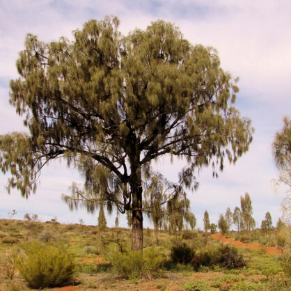 Mature Desert Oak (Allocasuarina decaisneana)
