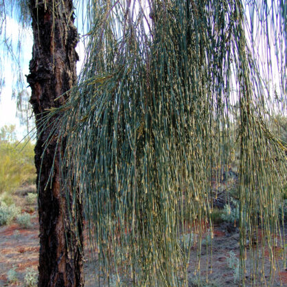 Needle like leaves of the Desert Oak (Allocasuarina decaisneana)